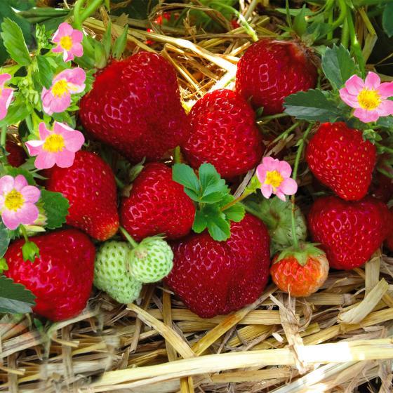 Erdbeere Merosa, im ca. 9 cm Topf