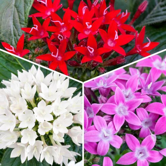 Sommerblumen-Sortiment Pentas, 3 Stück, im jeweils ca. 12 cm-Topf