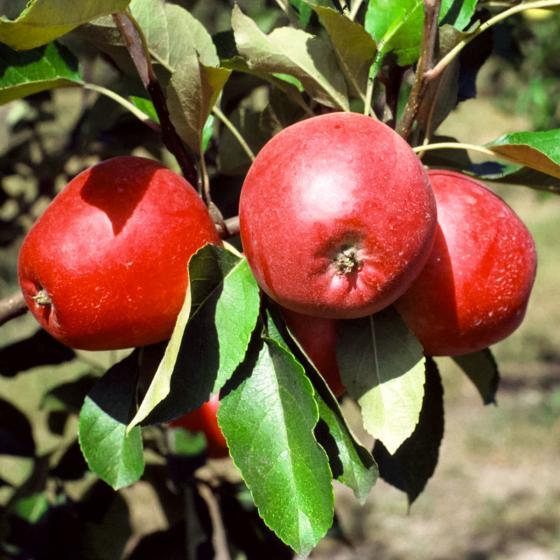 Säulen-Apfel Redcats®, im ca. 26 cm-Topf