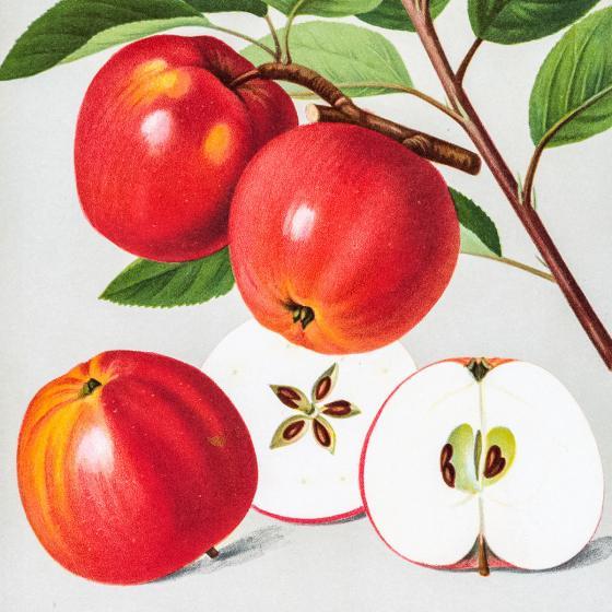 Apfel Himbeerapfel, im ca. 28 cm-Topf