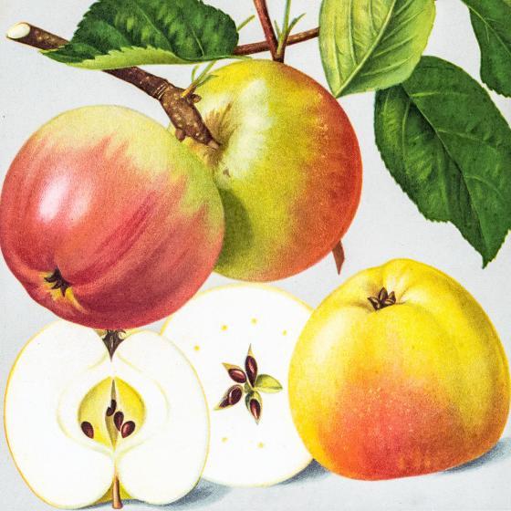 Apfel Winterbananenapfel, im ca. 28 cm-Topf
