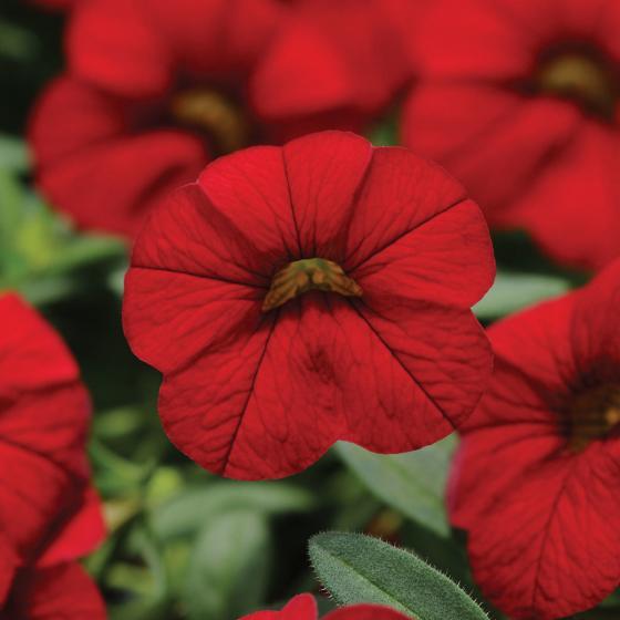 Zauberglöckchen, rot, im ca. 12 cm-Topf