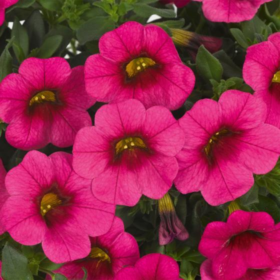 Zauberglöckchen, pink,  im ca. 12 cm-Topf