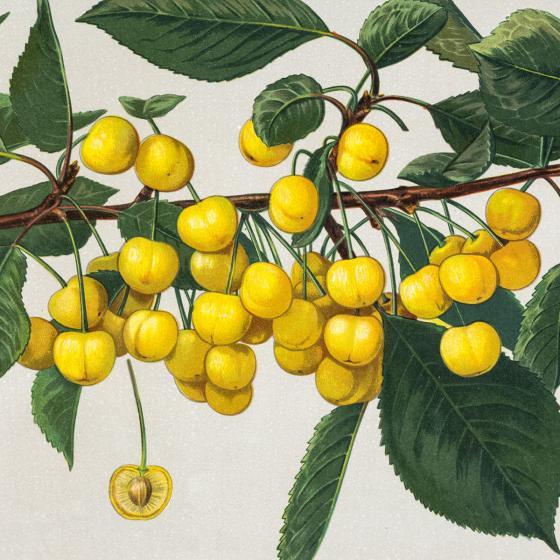 Süßkirsche Dönnissens Gelbe Knorpelkirsche, im ca. 28 cm-Topf