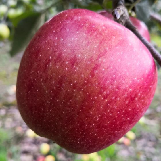 Apfel Braeburn , im ca. 26 cm-Topf