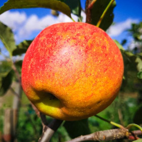 Apfel Gala , im ca. 26 cm-Topf