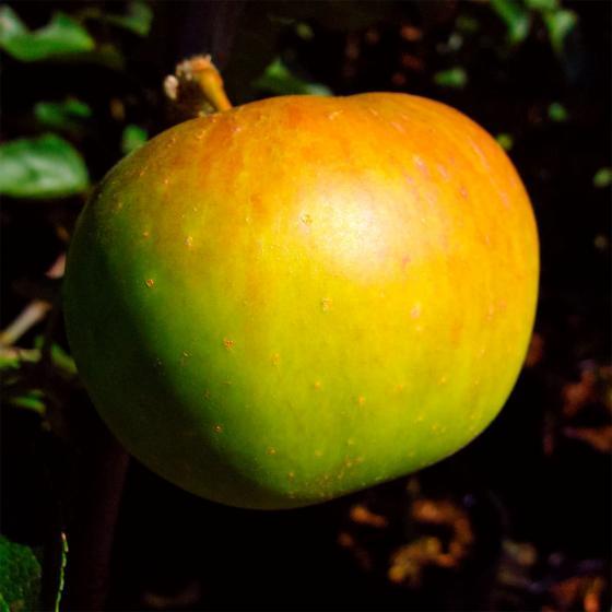 Apfel Jakob Lebel , im ca. 26 cm-Topf