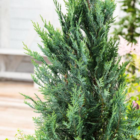 Großgebinde Gartenzypresse 100 - 120 cm, 30 Pflanzen