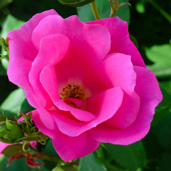 Bodendeckerrose Pink Knock Out®, im ca. 22 cm-Topf