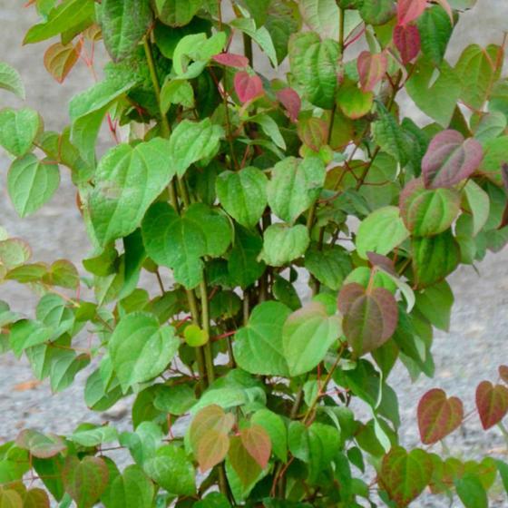 Lebkuchenbaum, im ca. 25 cm-Topf