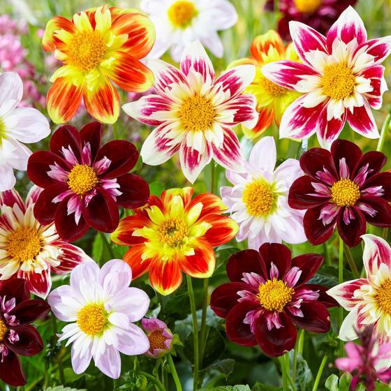 Blumenzwiebel-Mischung Lieblings-Halskrausen-Dahlien