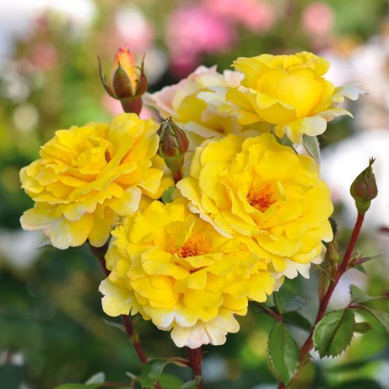 Essbare Culinaric Rose, gold-gelb, im ca. 22 cm-Topf