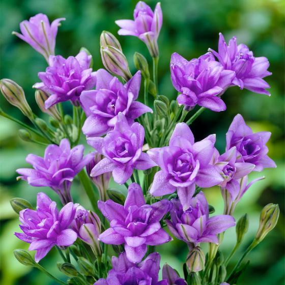 Blauer Frühlingsstern