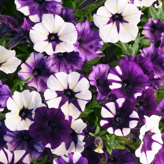 Hängepetuniensamen Purple Tie Dye F1, Pillensaat