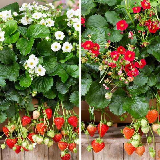 Set Balkon-Erdbeeren, im ca. 11 cm-Topf