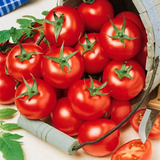 Tomatenpflanze Campos, veredelt, im ca. 12 cm-Topf