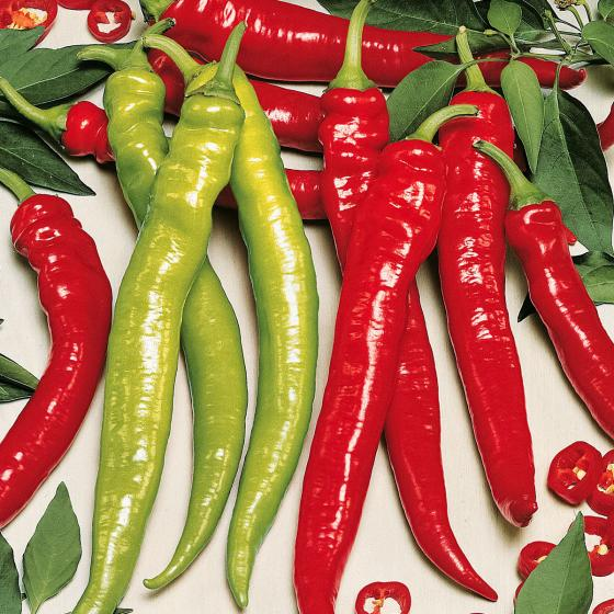 Chilipflanze Türkische Spiral-Peperoni Lyric Hot, im ca. 11 cm-Topf