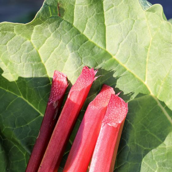 Erdbeer-Rhabarberpflanze Sanvitos Red, im ca. 19 cm-Topf