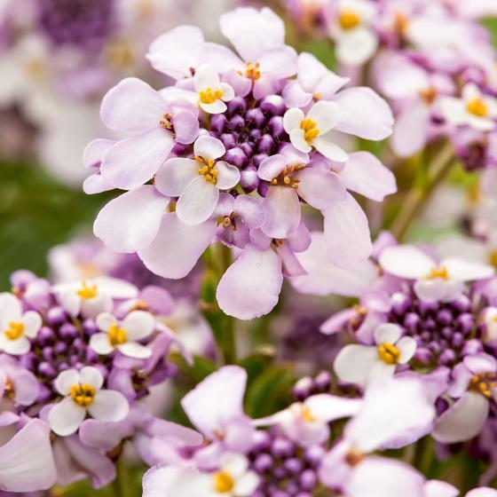 Immergrüne Schleifenblume, pink-violett, im ca. 9 cm-Topf