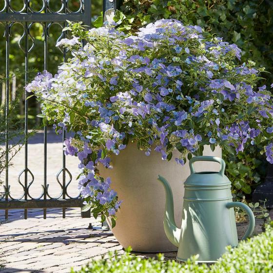Gartenhortensie French Bolero, blau, im ca. 13 cm-Topf