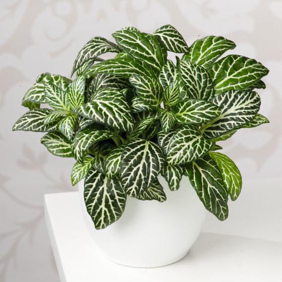 Mosaikpflanze, im ca. 10,5 cm-Topf