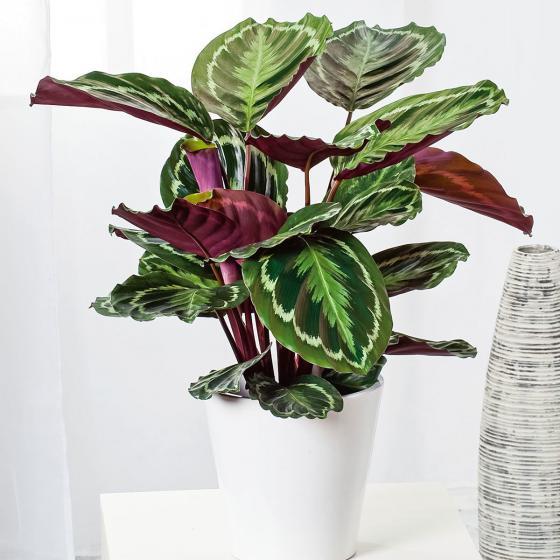 Korbmarante Medaillon, im ca. 19 cm-Topf