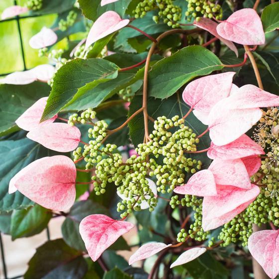 Spalthortensie Rose Sensation, im ca. 15 cm-Topf
