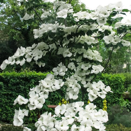 Blumenhartriegel Venus®, im ca. 24 cm-Topf