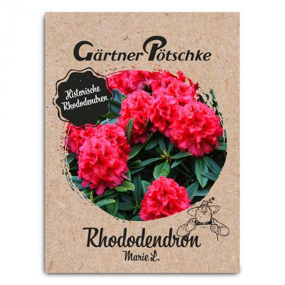 Historischer Rhododendron Marie L., im ca. 23 cm-Topf