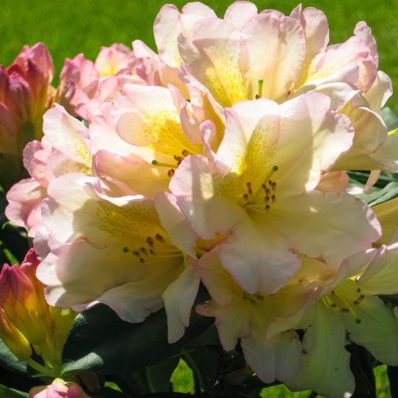 Historischer Rhododendron Luise V., im ca. 23 cm-Topf