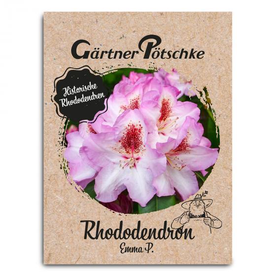 Historischer Rhododendron Emma P., im ca. 23 cm-Topf