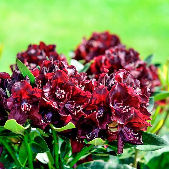 Historischer Rhododendron Johanna D., im ca. 23 cm-Topf