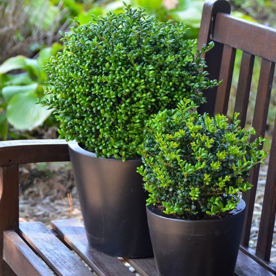 Stechpalme, grün, im ca. 21 cm-Topf