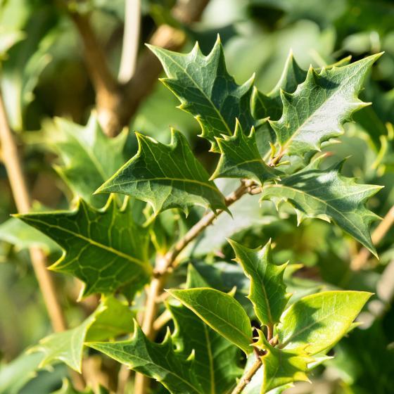 Stachelblättrige Duftblüte, weiß, im ca. 23 cm-Topf