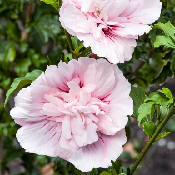 Roseneibisch Pink Chiffon, im ca. 23 cm-Topf