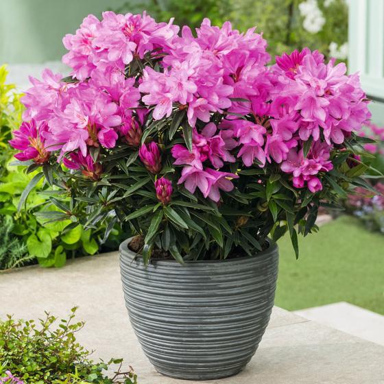 Zwerg-Rhododendron Graziella, im ca. 18 cm-Topf