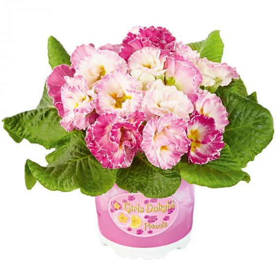 Rose Primrose Girl's Delight Pink Shades®, 3 Stück, im ca. 10,5 cm-Topf