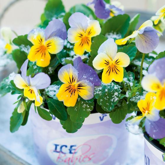 Mini-Hornveilchen Ice Babies® Blue with Yellow, im ca. 11 cm-Topf