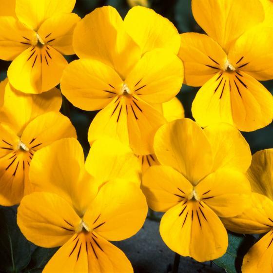 Mini-Hornveilchen Ice Babies® Golden Yellow, 3 Stück, im ca. 11 cm-Topf