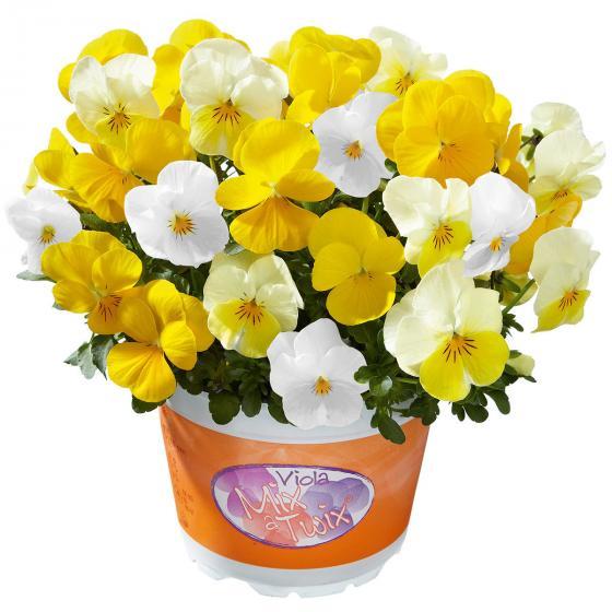 Hornveilchen Mix a Twix® Yellow, Primrose, Snow, im ca. 13 cm-Topf