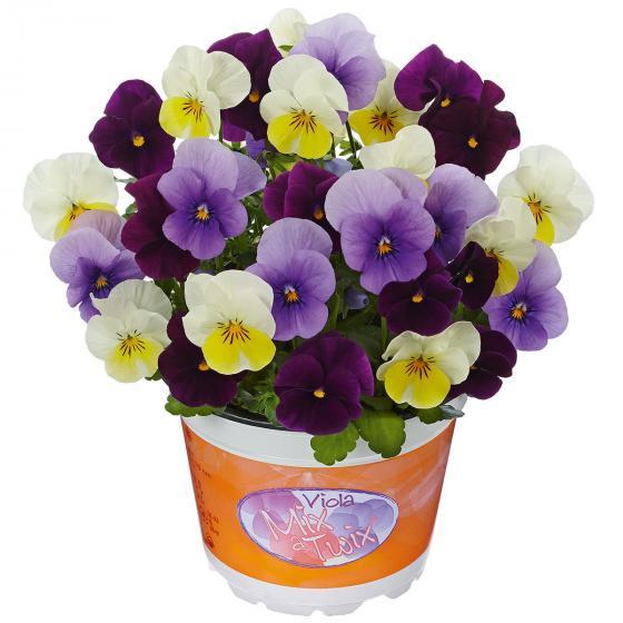 Hornveilchen Mix a Twix® Ice, Primrose, Violet, im ca. 13 cm-Topf
