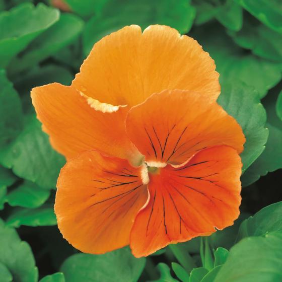 Edel-Veilchen Orchi®Orange, im ca. 13 cm-Topf