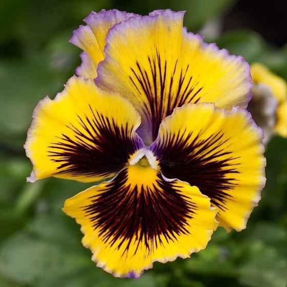 Edel-Veilchen Orchi®Purple-Yellow, im ca. 13 cm-Topf