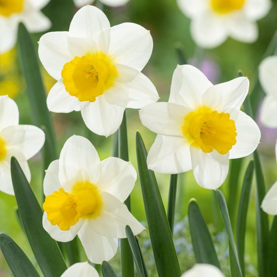 Weiß-gelbe Mini Narzisse, 3 Stück, im ca. 10,5 cm-Topf