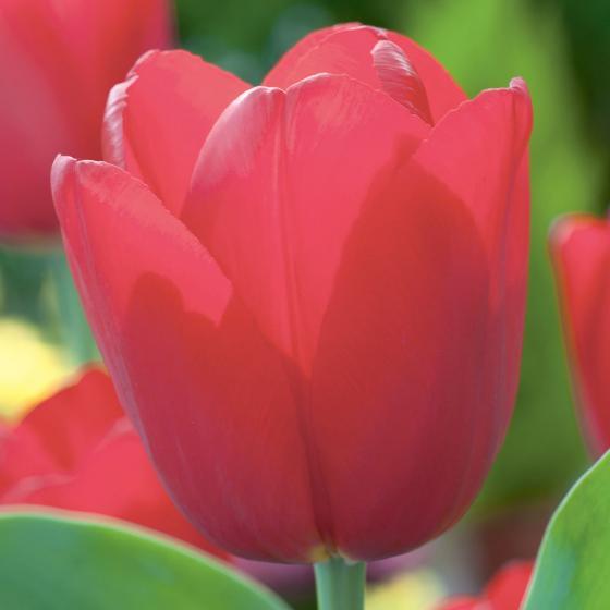 Rote Pracht Tulpe, im ca. 13 cm-Topf