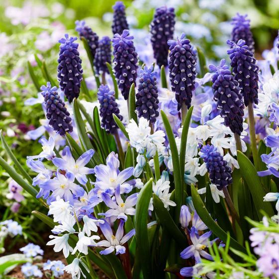 Blumenzwiebel-Mischung Bluetiful
