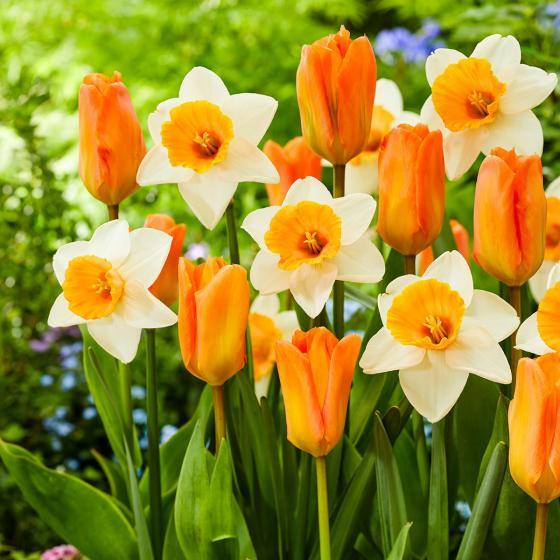 Blumenzwiebel-Mischung Orange Buddies