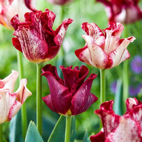 Tulpe Striped Crown