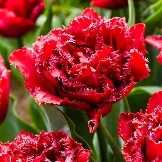 Tulpe Cranberry Thistle