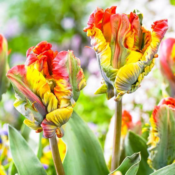 Tulpe Rasta Parrot
